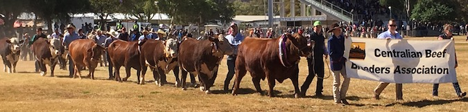 2459 Show cattle 1 OK
