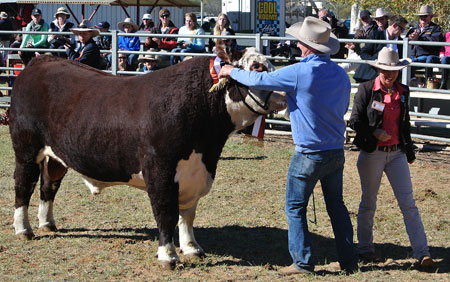 Alice Springs Show 2013, Grand Champion bull