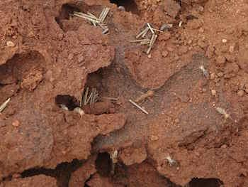 p2361 Termite chamber 2