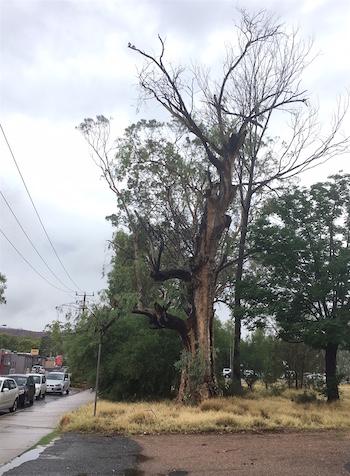 p2379-melanka-tree-middle-ok